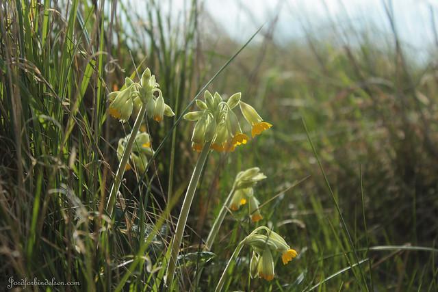 Blomster ved Gyldensteen Strand - Vilde Kodrivere