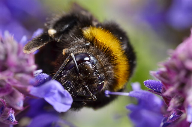 Bumblebee in the Lavender