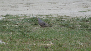 Common-Ground Dove (Columbina passerina) in Fairy Hills
