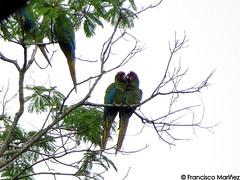 Ara militaris / Military Macaw / Guacamaya Verde.