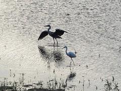 Grey heron (アオサギ) and great egret (ダイサギ)