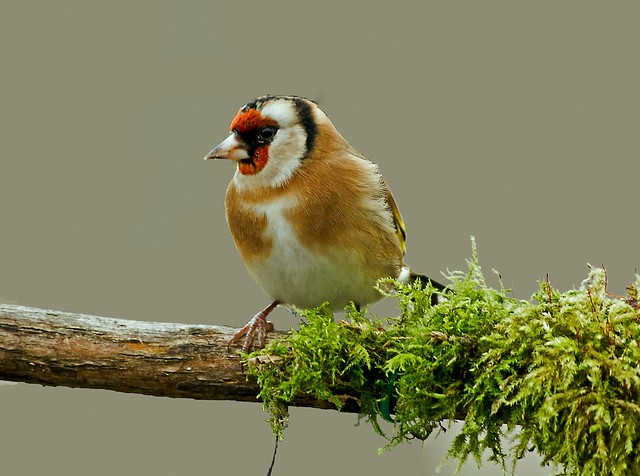 Goldfinch- Its Cold Out Here!!