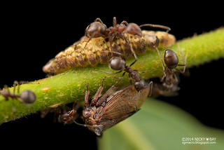 Treehopper (Tricentrus sp.) with milking ants? - DSC_8600