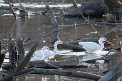 IMG_6167.jpg Snowy Egrets