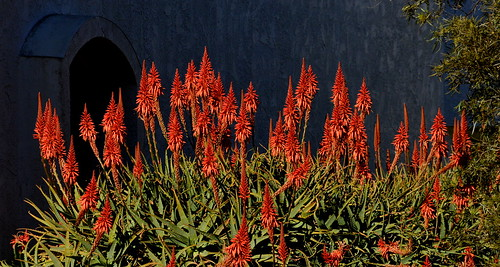 Mid-winter Signs - Blooming Aloes