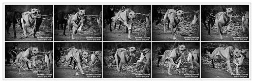 Schlittenhunde DM (Off-snow), Bielefeld - Senne - 199, EINE SEKUNDE, zehn Fotos