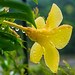 Small photo of Allamanda again