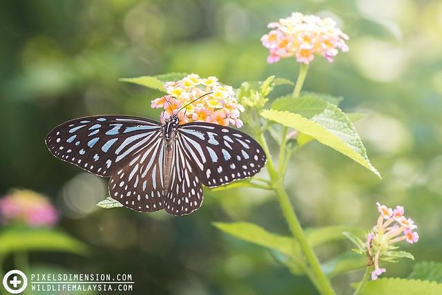 A Dark Glassy Tiger- Parantica agleoides