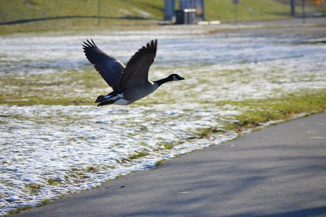 canada goose caught in flight