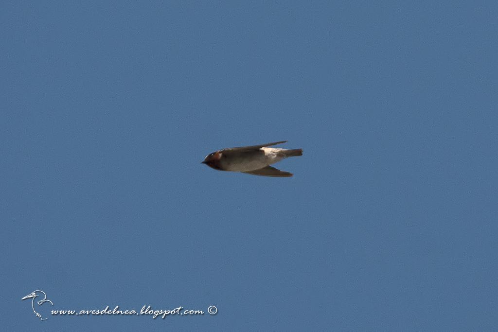 Golondrina rabadilla canela (Cliff Swallow) Petrochelidon pyrrhonota