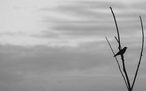 crow bird silhouette pacificnorthwest rattlesnakelake canoneos5dmarkiii canonef100400mmf4556lisusm nature wildlife washington johnwestrock