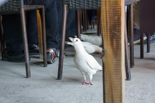 一堆鴿子來開餐了