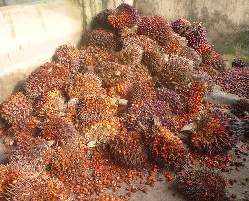 Palm trees are grown and the nuts are harvested and pressed for oil