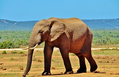 SOUTH AFRICA - Addo Elephant National Park