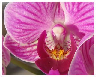 SX60 4x Zoom - telemacro: Mini-orchid - Nahaufnahme einer Phalaenopsis - Blüte - Macro of the Phalaenopsis blossom. Tele-Makro  82 mm