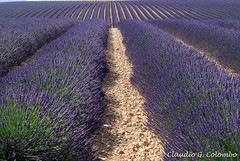 Valensole (Provence, France) - Field of lavender