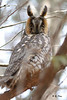 Hibou moyen-duc / Long-eared Owl / Asio otus by Yves Déry