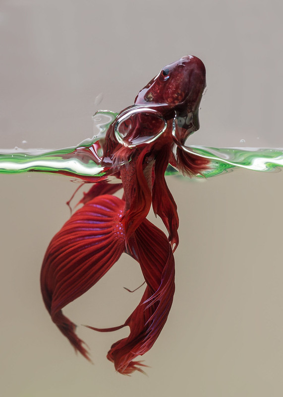 Betta splendens jumping to get some blood worm.
