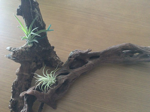 AirPlants (4)