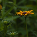 Black Eyed Susan by digiphotonut