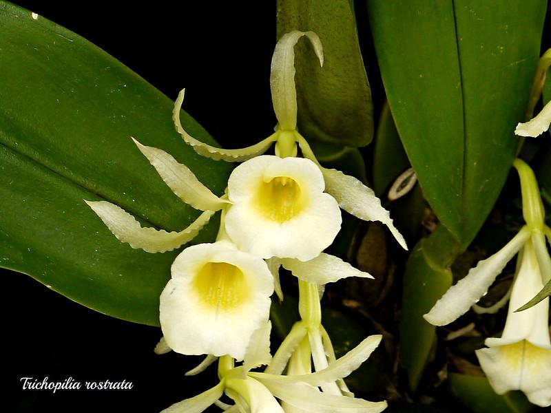 Trichopilia rostrata 15054275973_908c6631cc_c