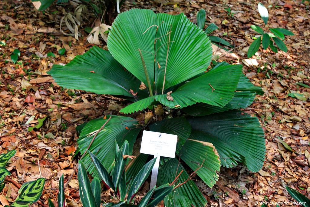Licuala orbicularis   Parasol Palm, Singapore Botanic Gard… | Flickr