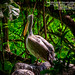Pelican - පෙලිකන්