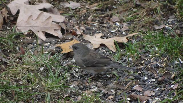 unidentified apparent hybrid sparrow
