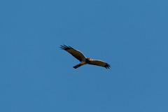 IMG_2869.jpg Northern Harrier