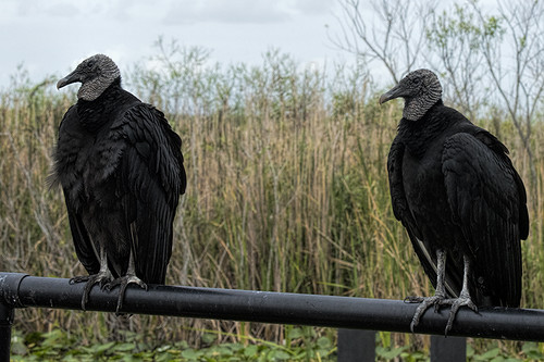 Florida: Black Vultures en Duo