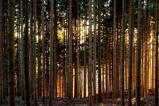 Foresta del Pratomagno al Tramonto