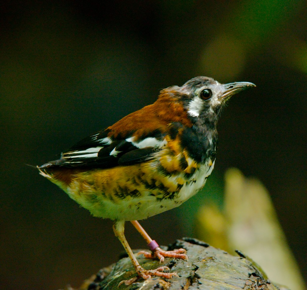 Chestnut-backed Thrush (Geokichla dohertyi)_3