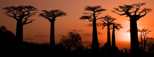 travel sunset tree landscape adventure arbre madagascar coucherdesoleil morondava baobabs océanindien indianocéan