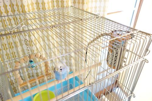 Budgerigar_Ico_(2014_10_30)_1 青いセキセイインコが鳥籠の止り木に止まっている。籠の側面にはヒーターが取り付けられている。