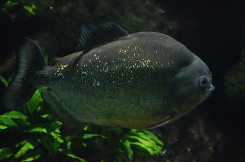 Piranhas im Züricher Zoo