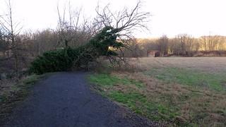 fallen Tree jan 15