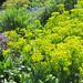 A sea of Euphorbia