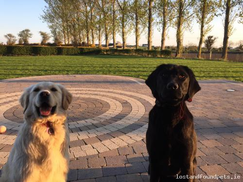 Sat, Jun 11th, 2016 Lost Female Dog - Riverstown, Rathcor, Louth