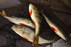 Caught four perch on spinners at nets