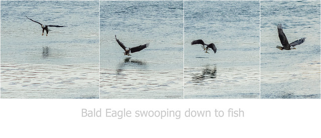 Bald Eagle swoops down to fish