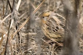 Floyd Bennett Field: LeConte's Sparrow 1