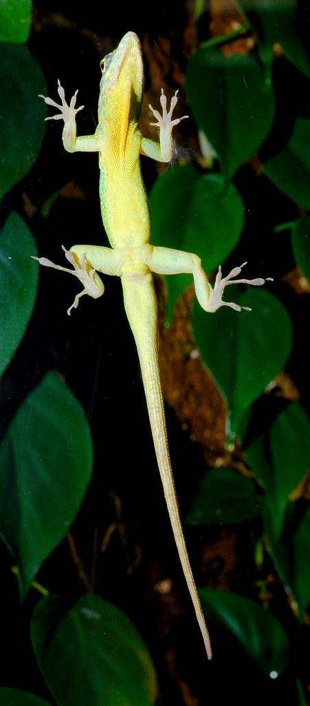 Martinique anole (Anolis roquet summus)_1