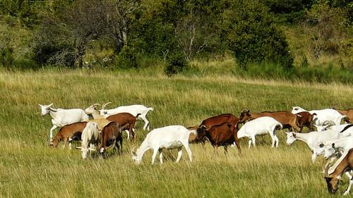 prairie vercors chèvres drôme troupeau