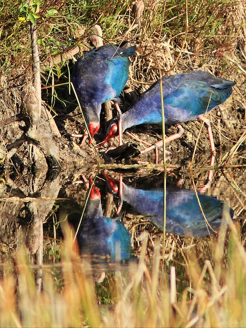 Purple Swamphens 04-20141030