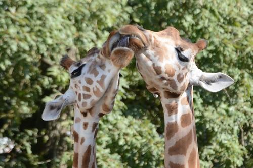 Kordofangiraffen im Zoo de La Flèche