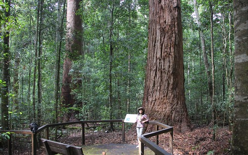 AUSTRALIA'S BIGGEST TREES