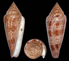tooth(0.0), invertebrate(0.0), conch(1.0), seashell(1.0), conch(1.0),