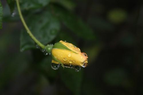 rogue rose