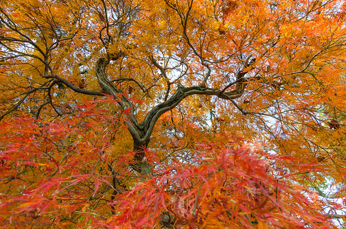 old autumn red orange color tree fall philadelphia nature nikon pennsylvania branches momiji japanesemaple philly acerpalmatum glenfoerd