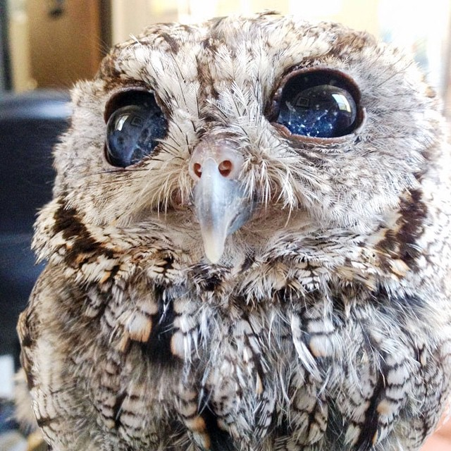 Zeus, the little rescued blind owl with stars in his eyes.
